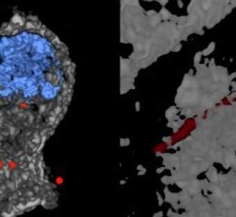 Left: 3D deconvolution of nanoparticles (NPs) in a cell - NPs in red - nuclear structure in blue - cell structure in gray. Right: 3D deconvolution of a carbon nanotube piercing a tissue section